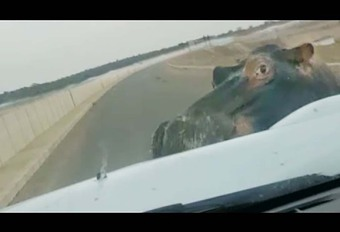INSOLITE – Un hippopotame charge son pick-up #1